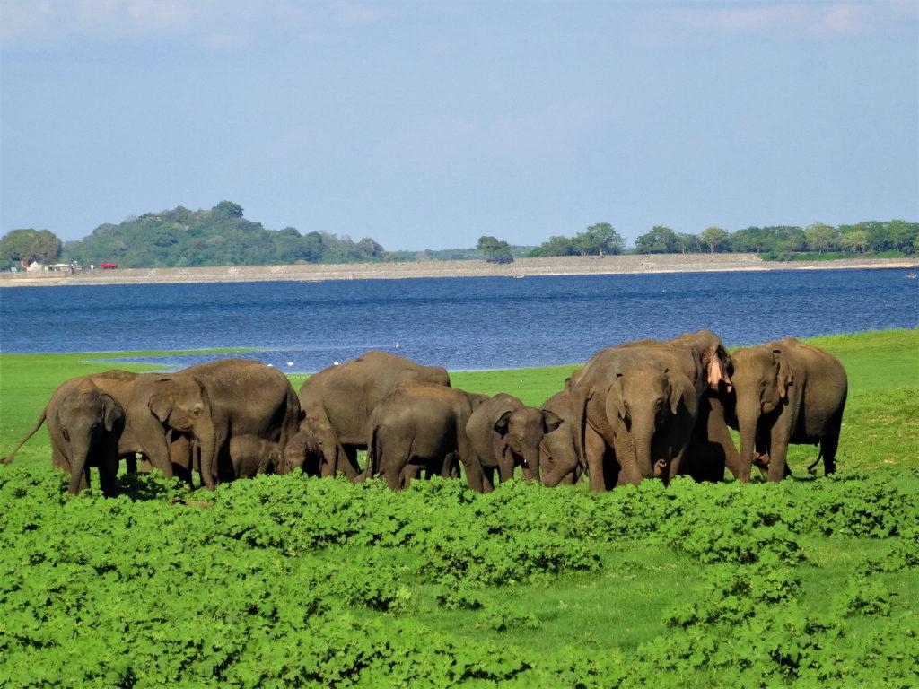 éléphants au parc national de minneriya