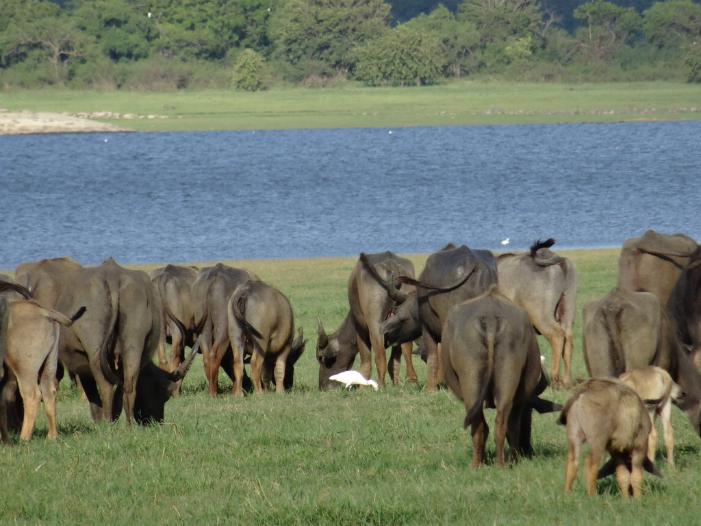 buffles au parc national de minneriya