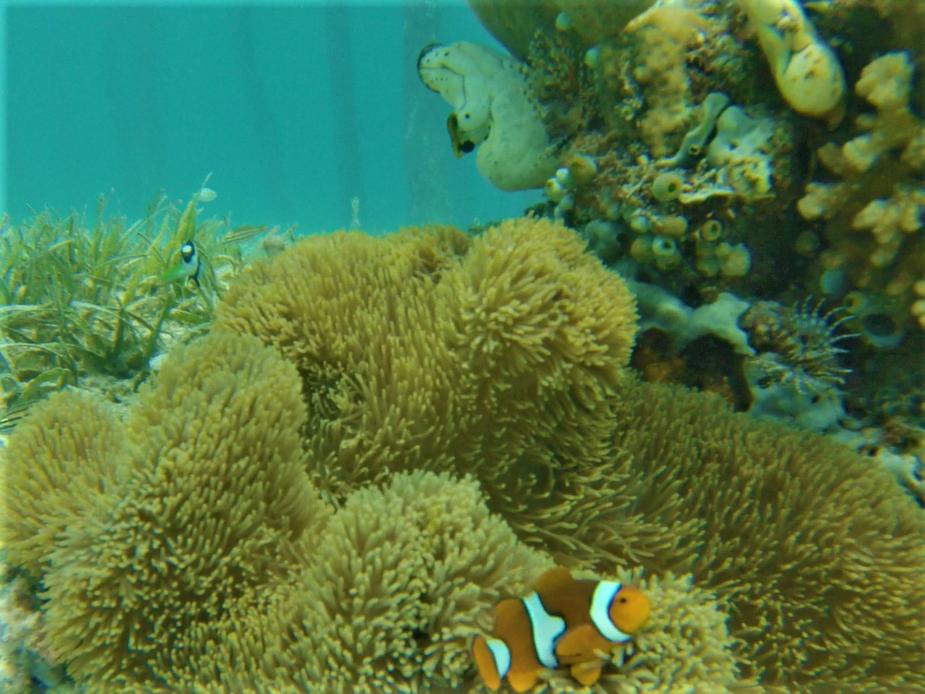 snorkeling à bolilanga, Togian, poisson clown