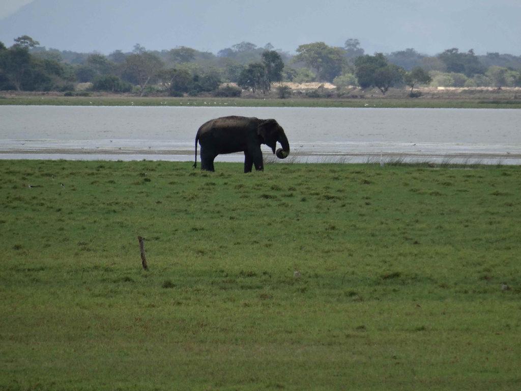 éléphant sauvage entre arugam bay et pottuvil