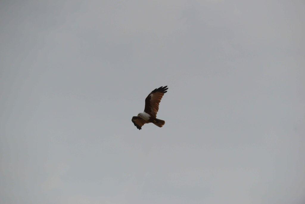 rapace en plein vol à élephant rock, près de arugam bay