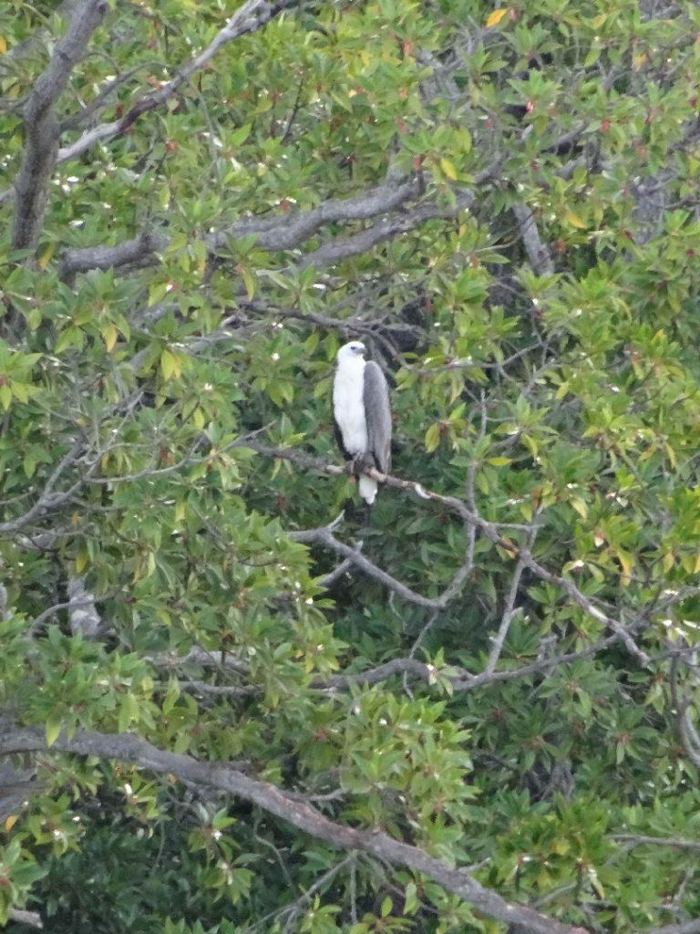 rapace sur un arbre à elephant rock, près de arugam bay