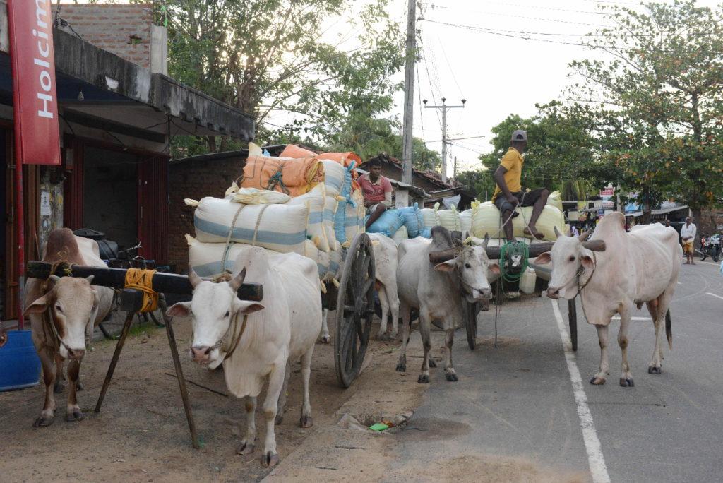 défilé de charrette à zébu près d'arugam bay