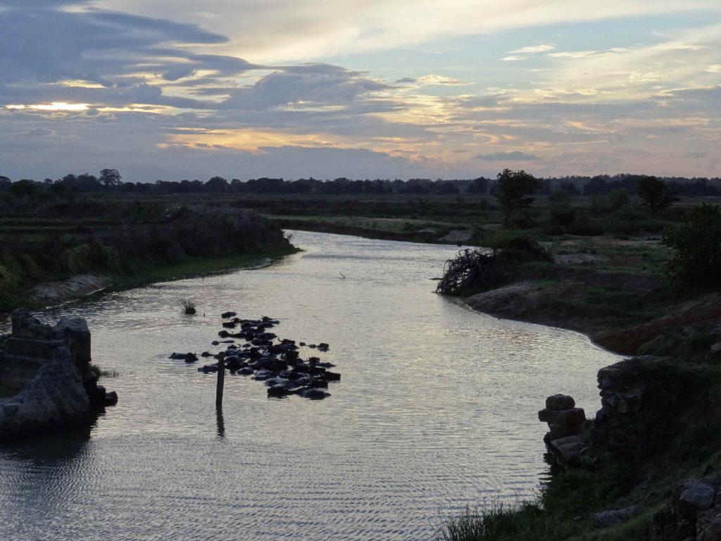 zébus dans rivières près de arugam bay au soleil couchant
