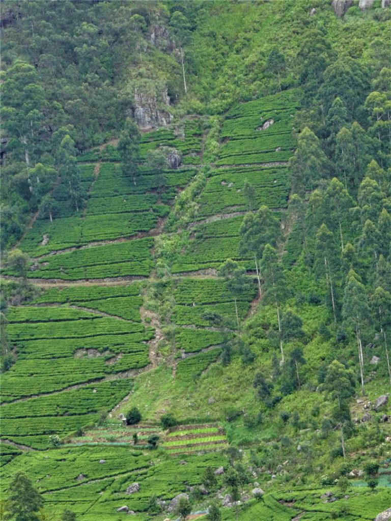 environs de haputale, paysage de plantations de thé entre l'usine lipton et le sommet