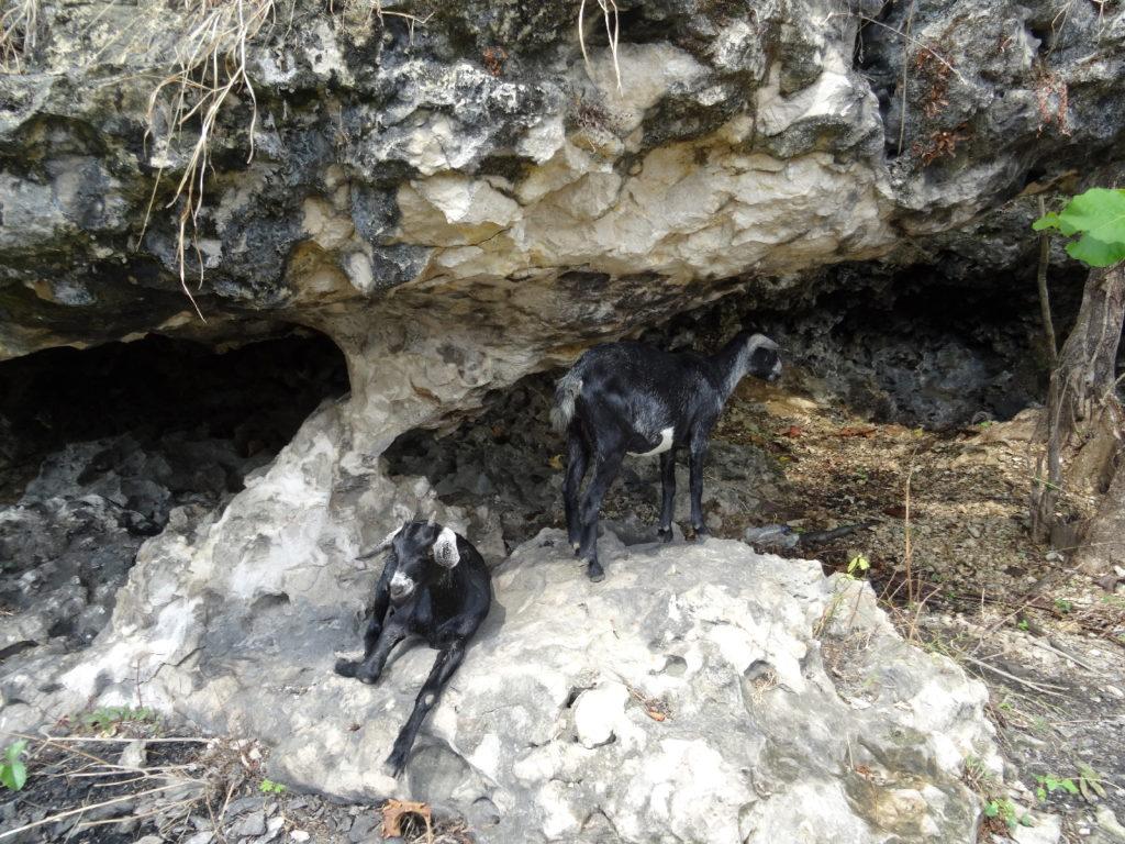 chèvres à la sortie du labyrinthe dans les roches entre ramang-ramang et makassar