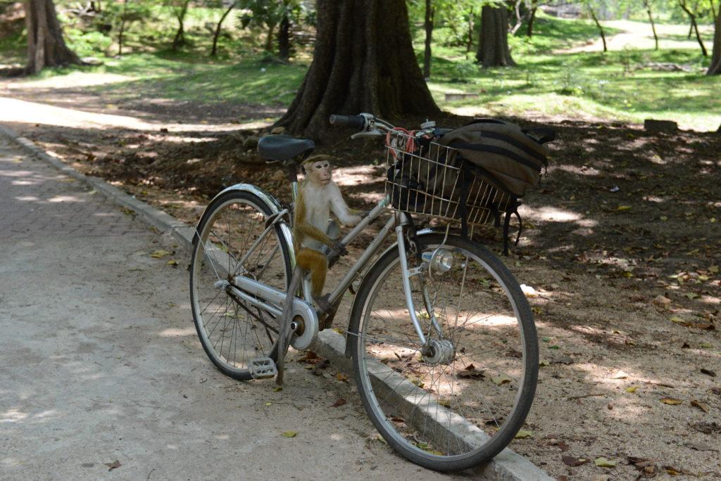 singe sur notre vélo autours du Quadrilatère, Polonnaruwa