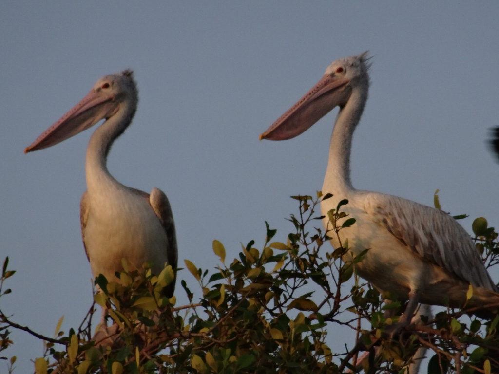 cigognes vues en canoë dans la mangrove de la lagune de tangalle