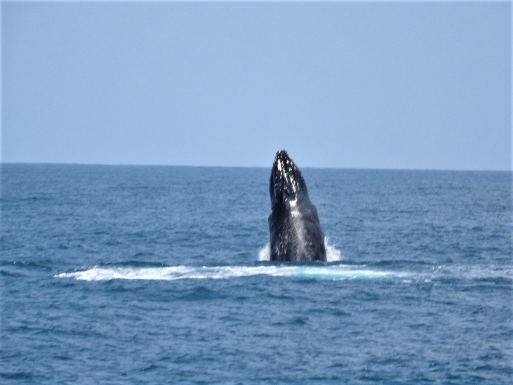 baleine entre mahambo et l'île sainte-marie