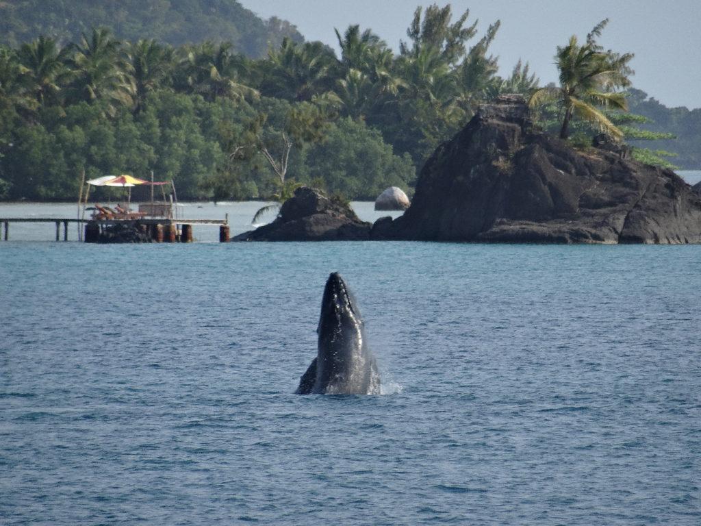 baleine à arrivée en bateau à l'île sainte-marie