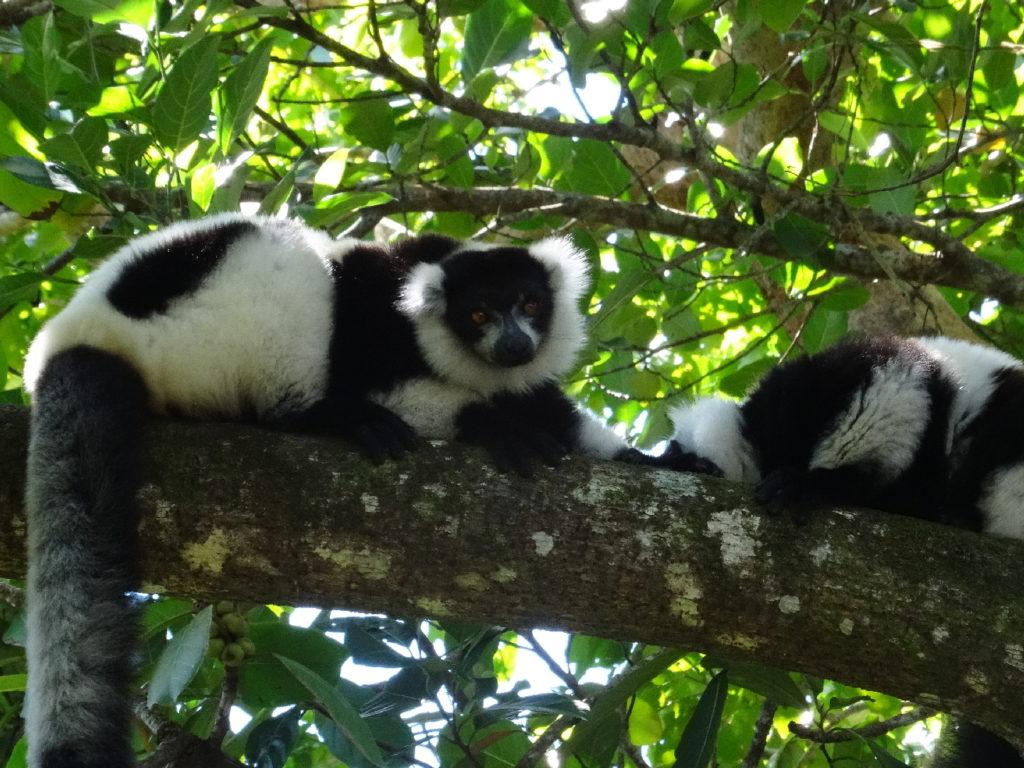 lémurien à mahambo