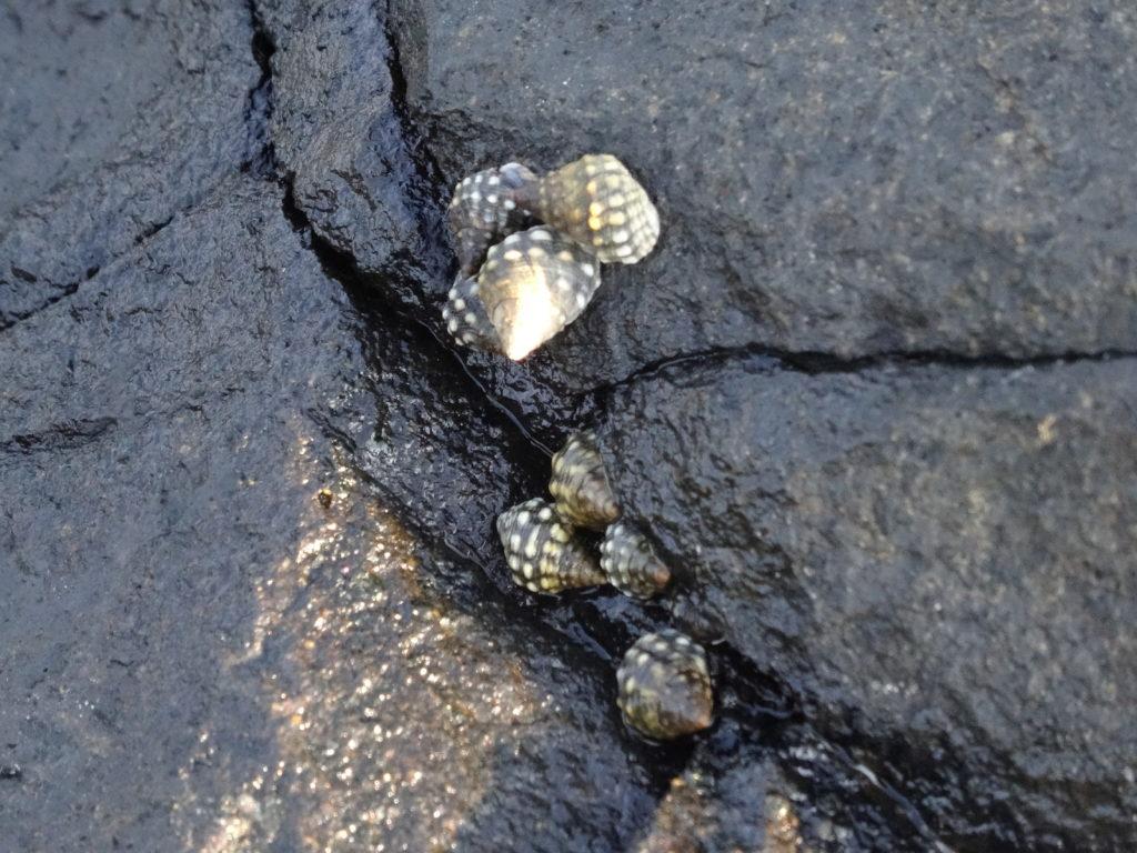 coquillage dans les rochers à plage de mahambo