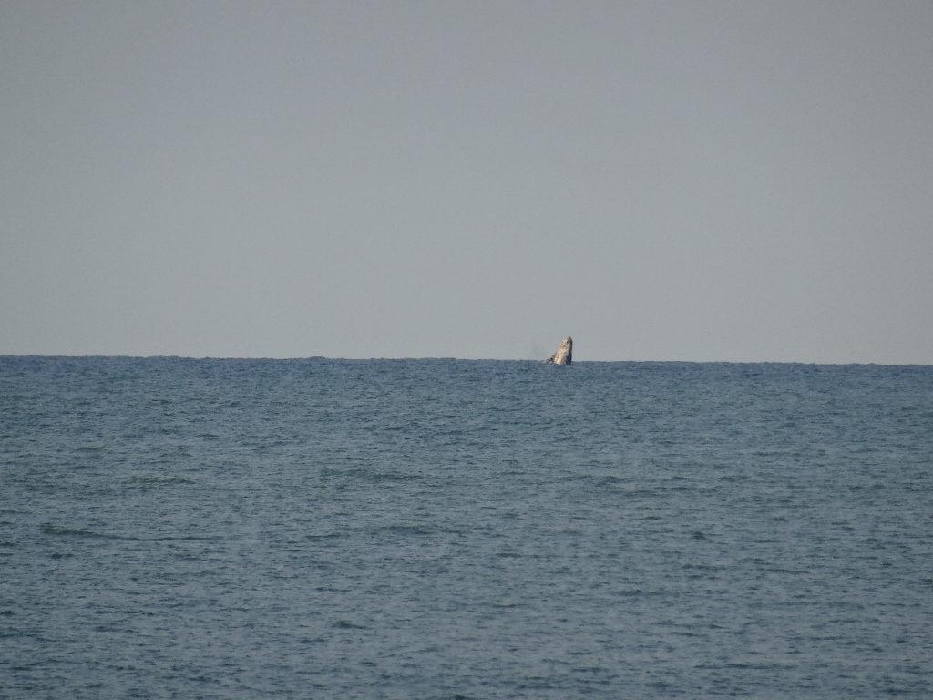 baleine à bosse à plage de mahambo