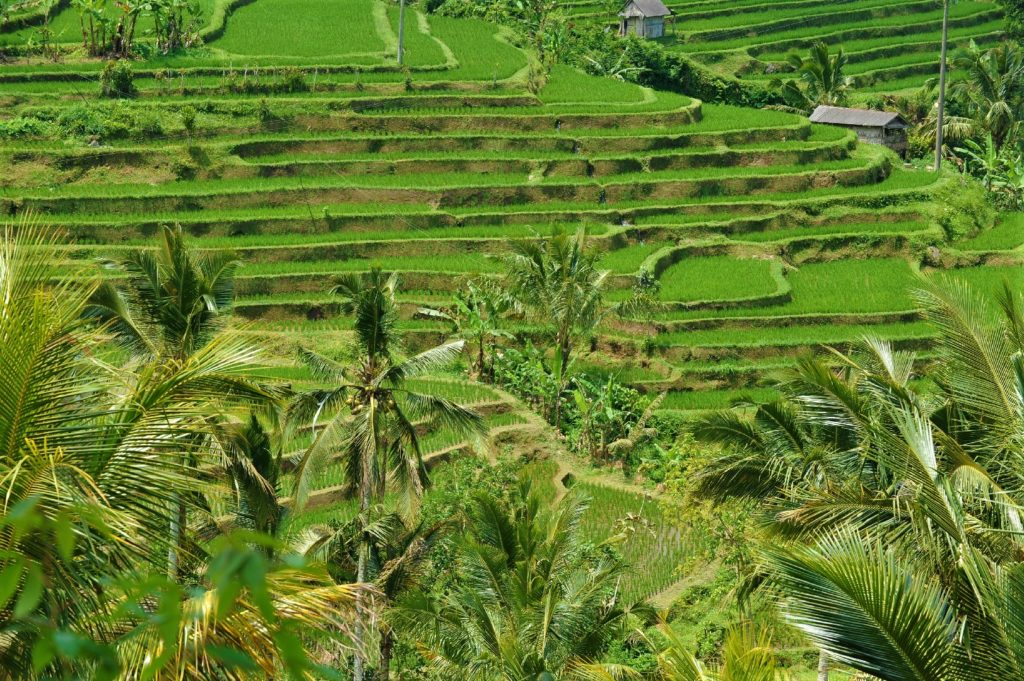 rizière de jatiluwi entre ubud et bedugul