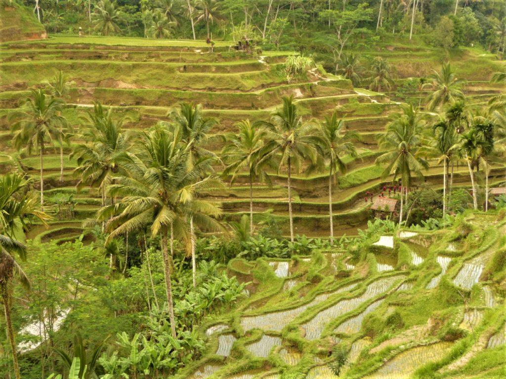 ceking et ses rizières en terrasse