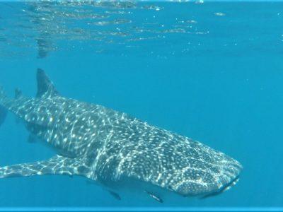 Nager avec les requin-baleines et les tortues à Nosy Be