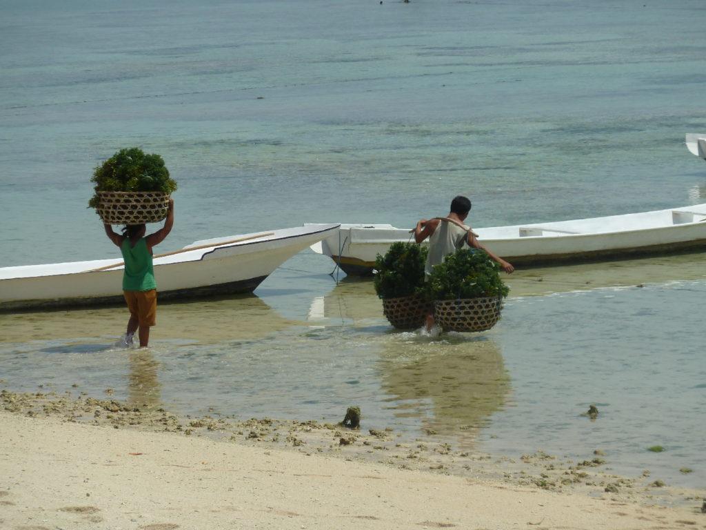 récolte d'algue, nusa lembongan