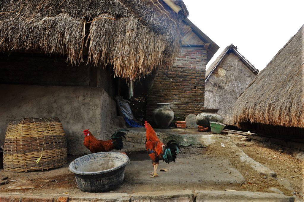 Sade, village sasak à Lombok, coqs et maisons