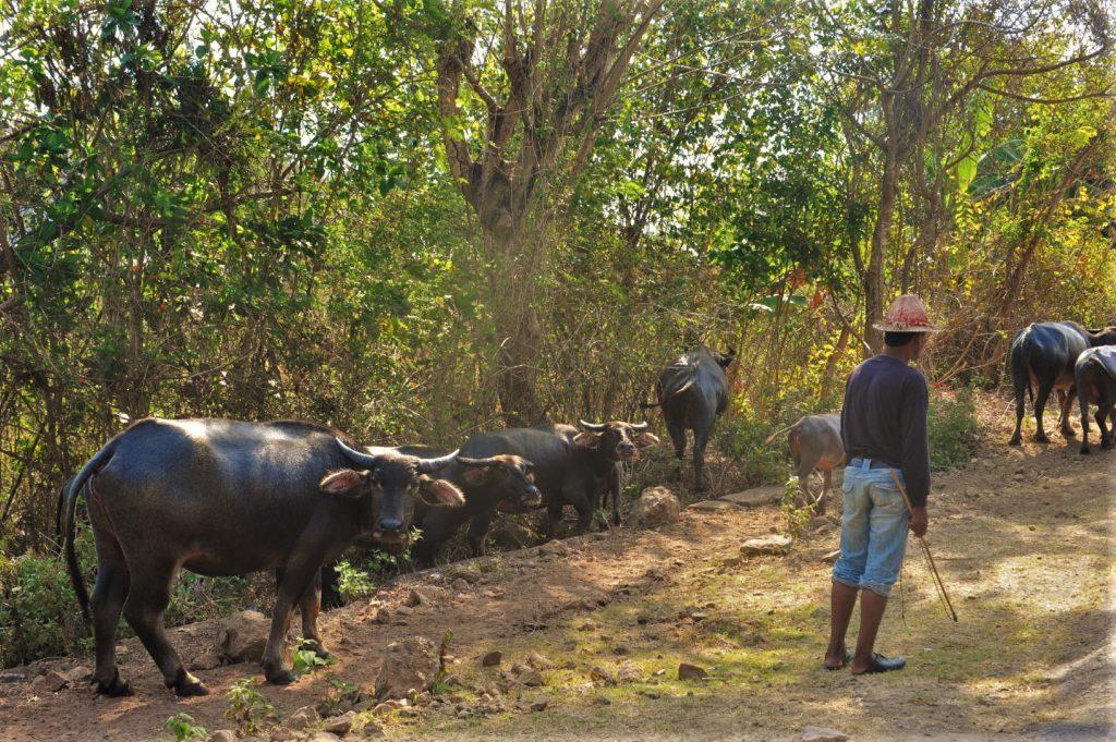 sur la route entre Kuta Lombok et Selong Belanak Beach, bétail sur la route