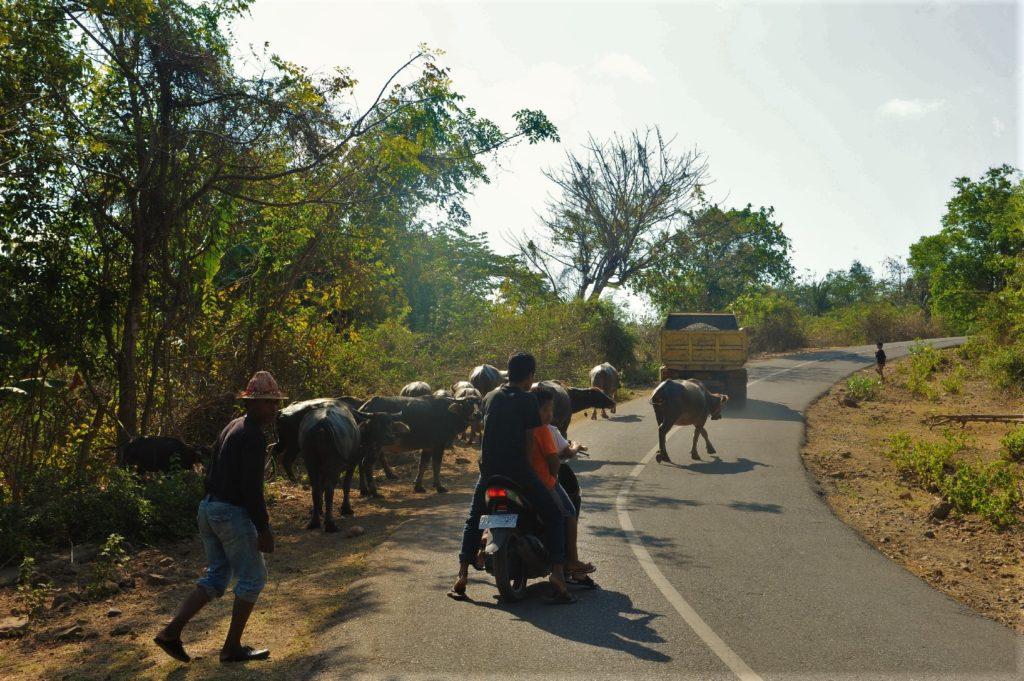 sur la route entre Kuta Lombok et Selong Belanak Beach, bétail sur la route parmi les scooters