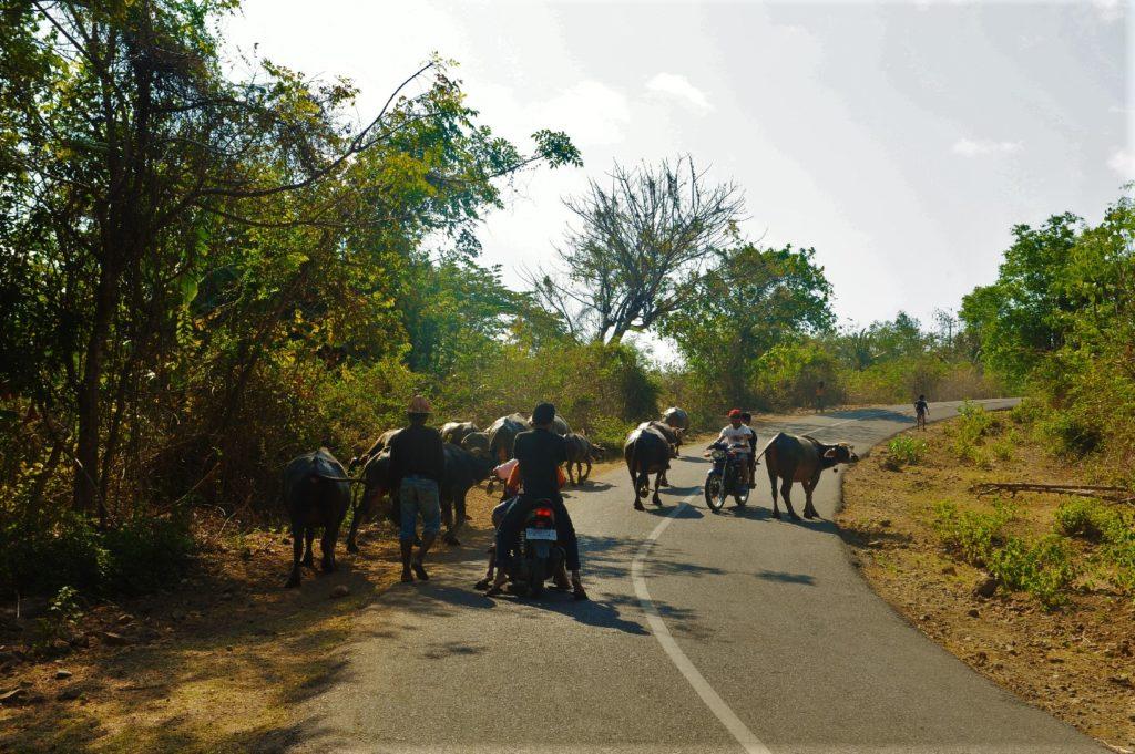 sur la route entre Kuta Lombok et Selong Belanak Beach, boeufs et scooters se partagent la route