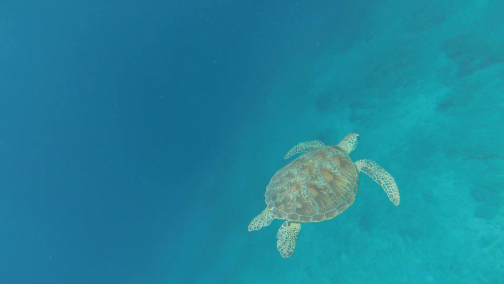 magnifique tortue aux îles gili