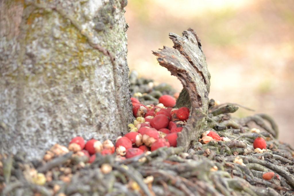 baies rouges dans le parc national de khao yai