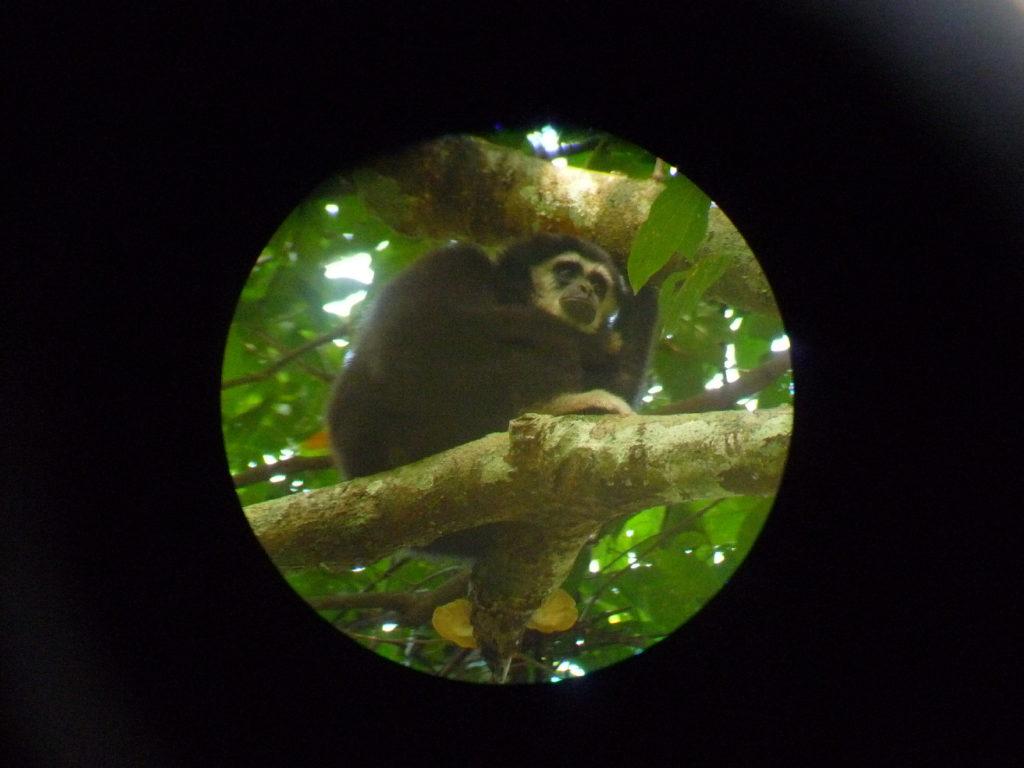 singe gibbon noir observé à la lunette au parc national de khao yai