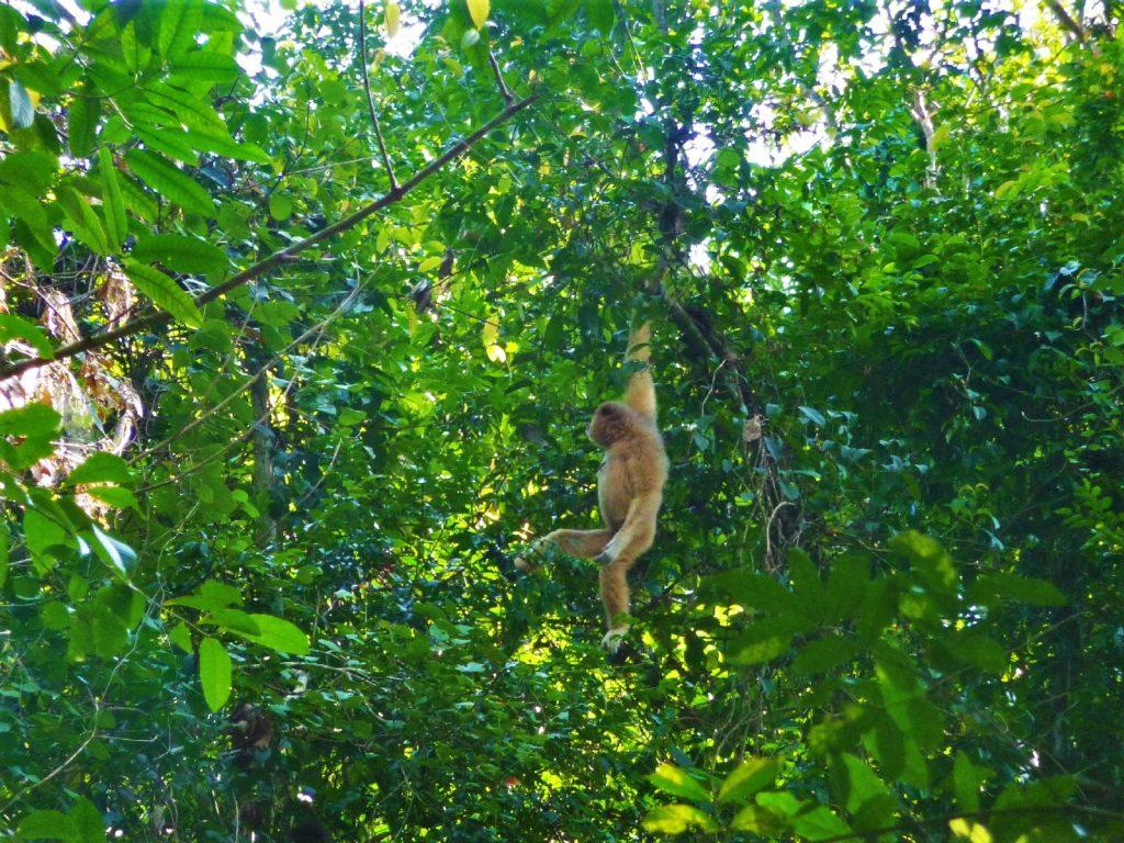 singe gibbon blanc au parc national de khao yai