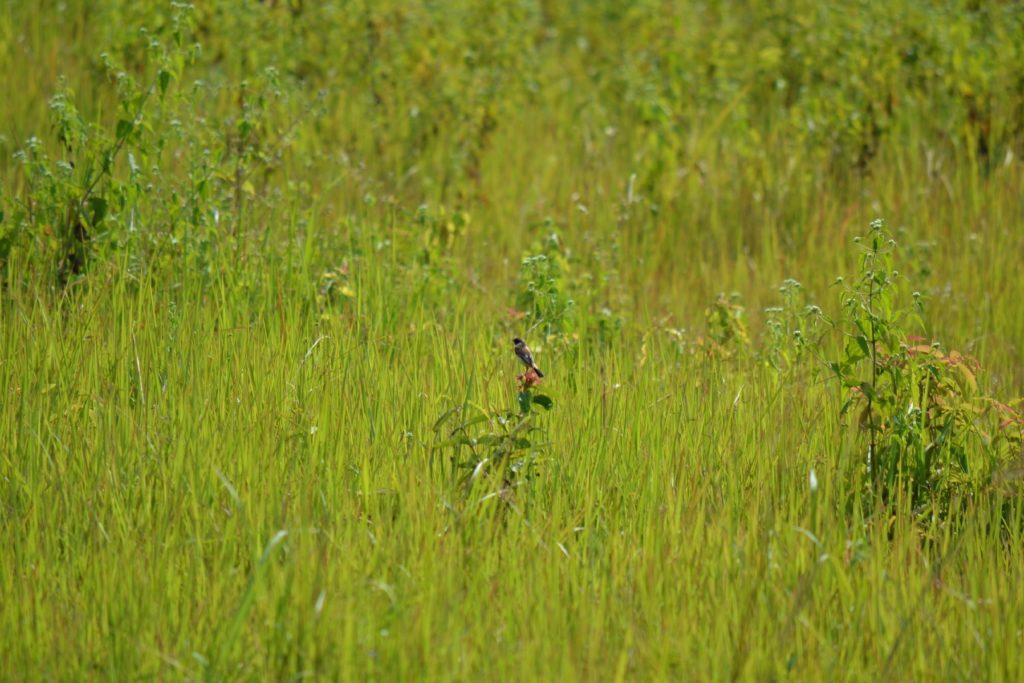 oiseau à kha yai