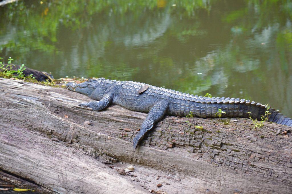 crocodile sur un tronc d'arbre à khao yai