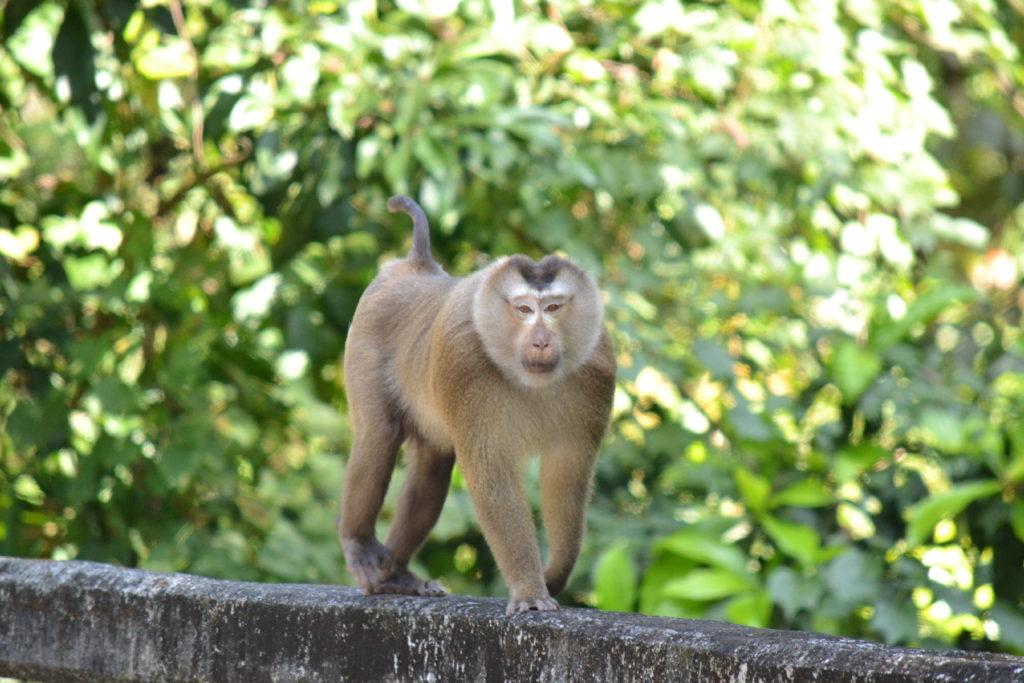 singe dans le parc national de khao yai