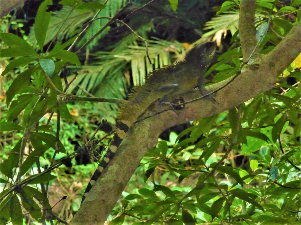 iguane à khao yai