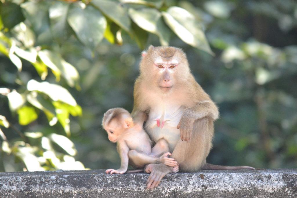 maman singe et son bébé dans le parc national de khao yai