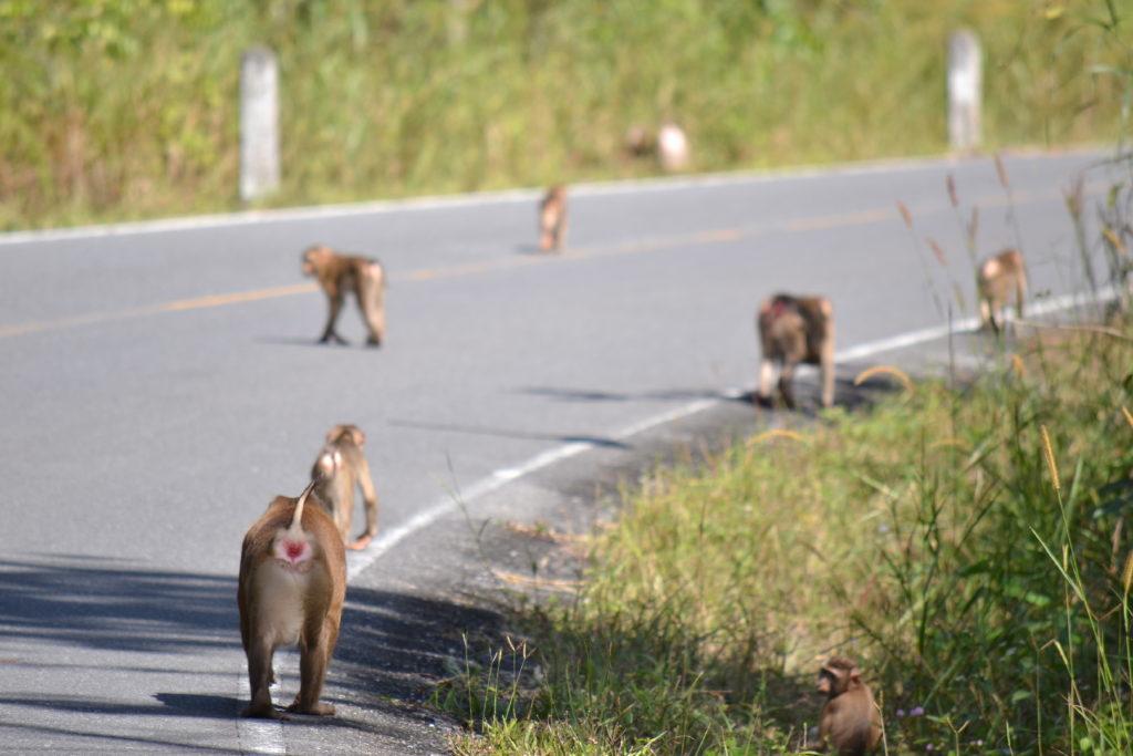 singes sur la route dans le parc national de khao yai