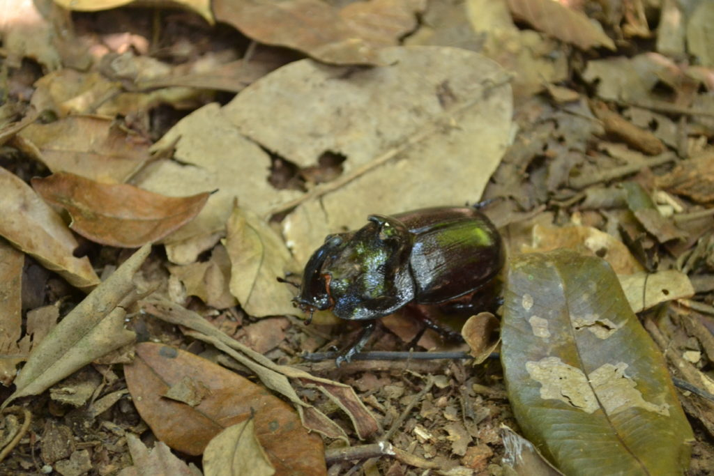scarabée rhinocéros à khao yai