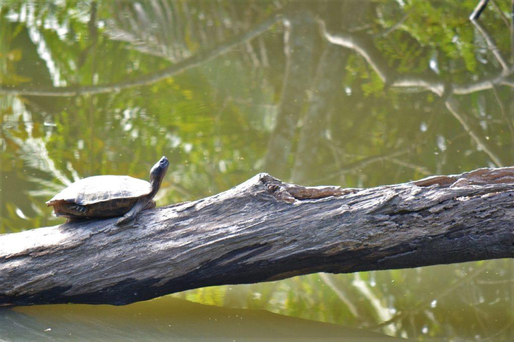 tortue dans le parc national de khao yai