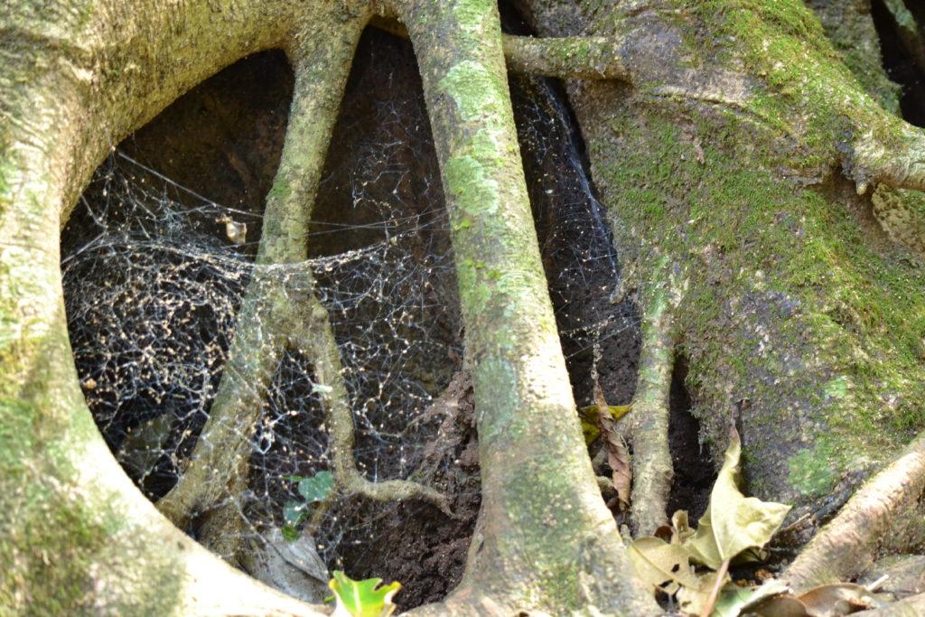 toile d'araignée dans la végétation dans le parc national de khao yai