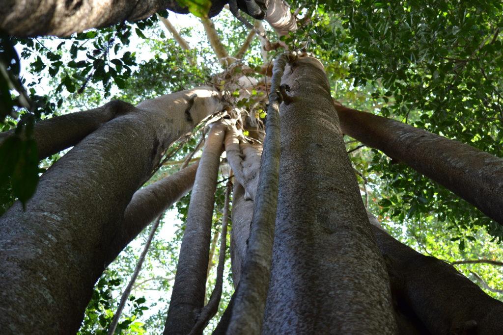 végétation dans le parc national de khao yai, grands troncs d'arbre