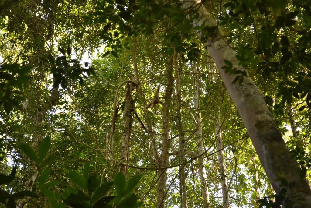 gibbon blanc dans la végétation dans le parc national de khao yai