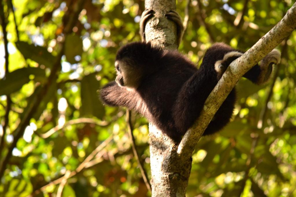 singe gibbon noir au parc national de khao yai