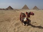 dromadaire dans le désert devant les pyramides de guizeh : kheops, khephren, mykerinos et les reines