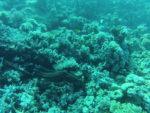 plongée mer rouge, hurghada, pieuvre octopus